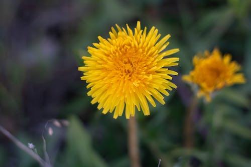 Foto profissional grátis de broto, close, de flores, flor