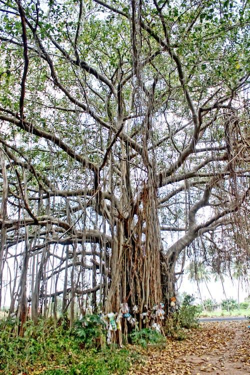 Foto d'estoc gratuïta de arbre, arbres, arrel, bagul