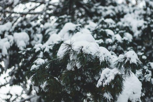 Gratis lagerfoto af fyrretræ, natur, sne, vinter