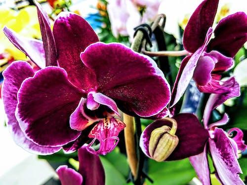 Immagine gratuita di fiori viola, orchidea, orchidea viola, orchidee