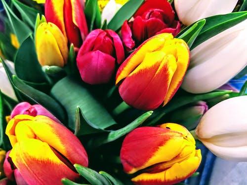 Immagine gratuita di tulipani, tulipani gialli, tulipani rosa