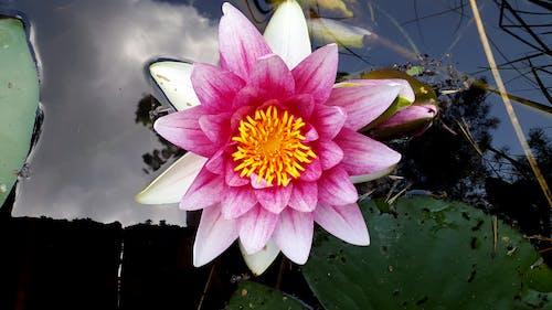 분홍색 꽃, 수련, 아름다운 꽃, 잔잔한 물의 무료 스톡 사진