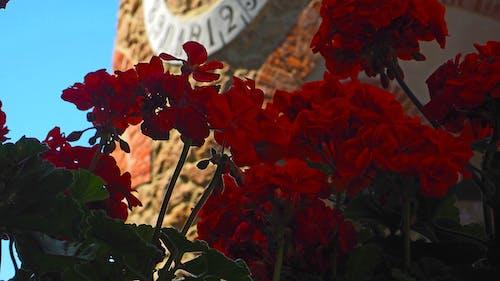紅色的花朵 的 免費圖庫相片