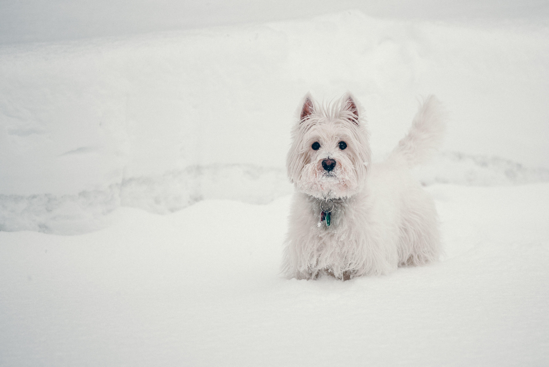 Kostenloses Stock Foto zu haustier, hund, schnee, weiß