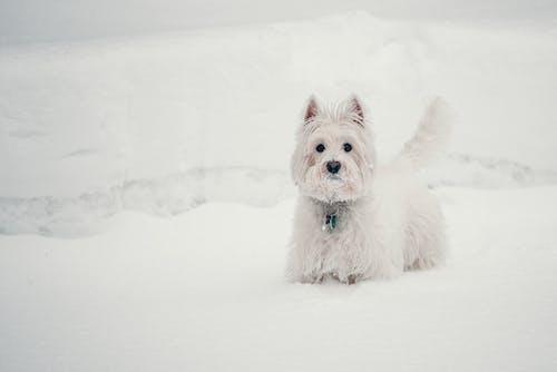 Darmowe zdjęcie z galerii z biały, pies, śnieg, westie