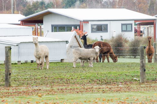 Free stock photo of alpaca, black, brown, farm