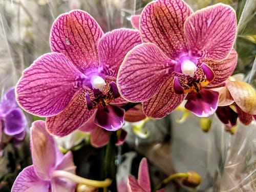 Immagine gratuita di orchidee rosa