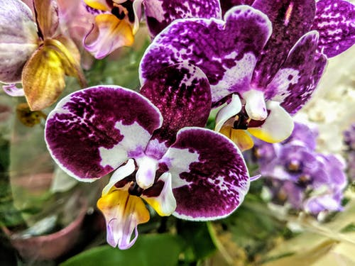 Immagine gratuita di orchidee viola