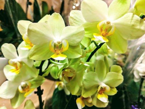 Immagine gratuita di orchidee gialle