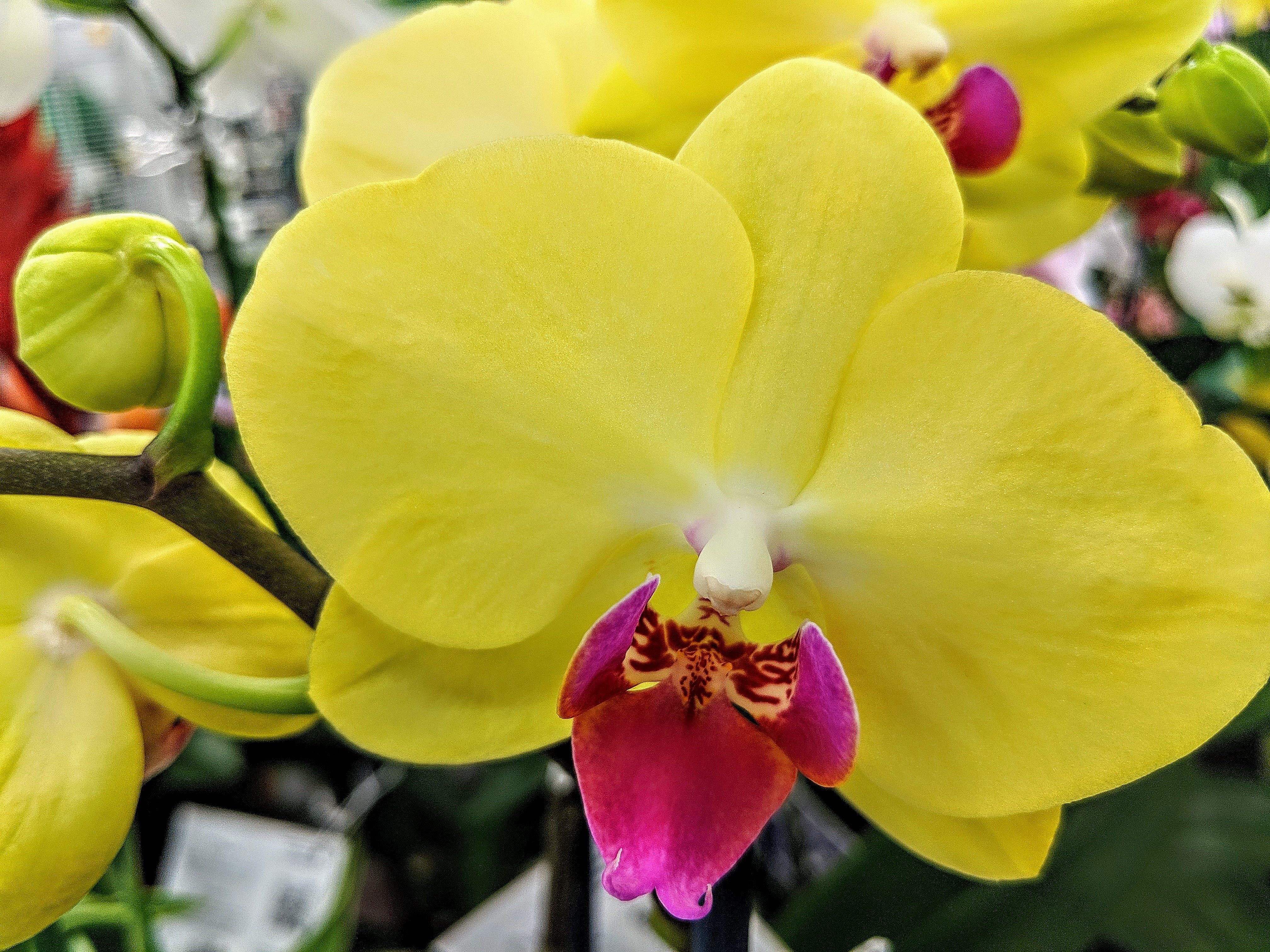 Free stock photo of yellow orchids