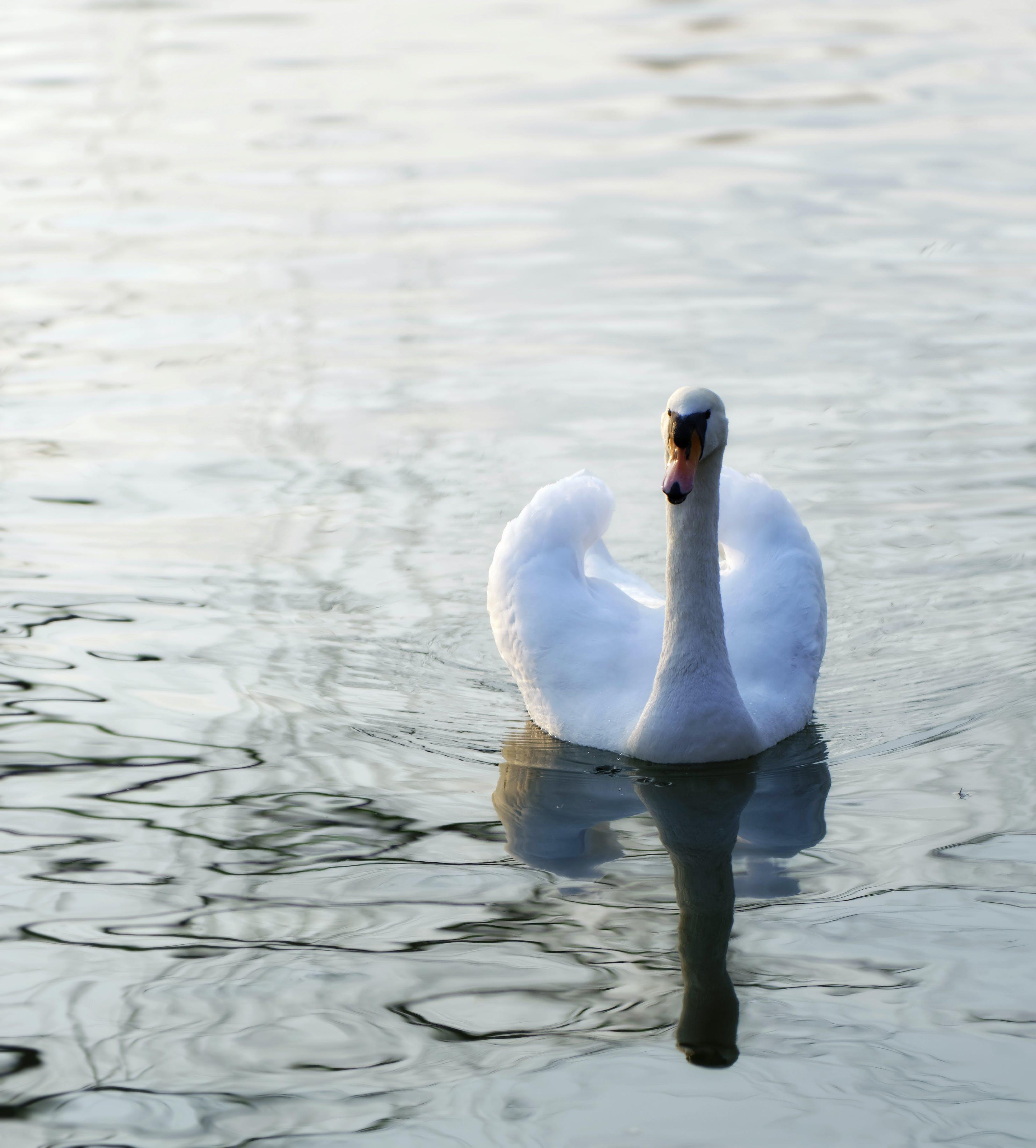 Kostenloses Stock Foto zu baden, see, wasser, weißer schwan