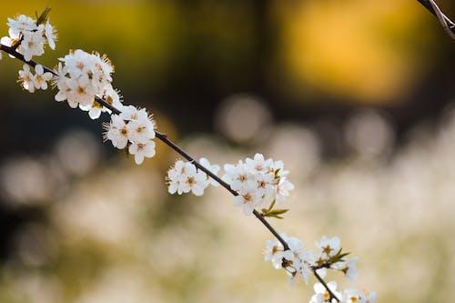 Fotobanka sbezplatnými fotkami na tému Ázia, drobné, kvety, kvety ovocných stromov