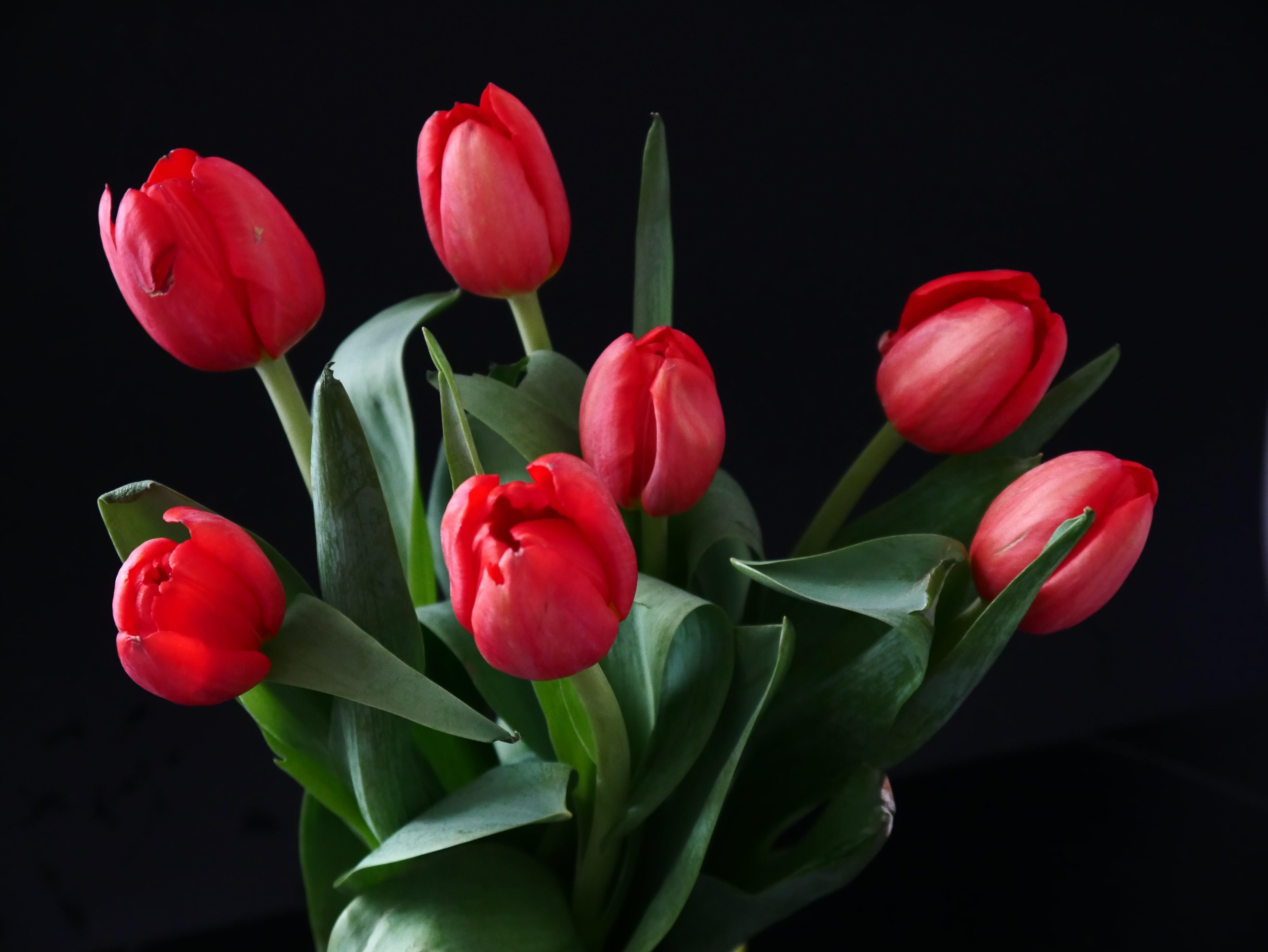 Kostenloses Stock Foto zu blumen, blumenstrauß, blüten, rote tulpen