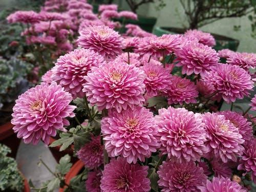 Free stock photo of beautiful dahila flowers, color of love, dahila flowers
