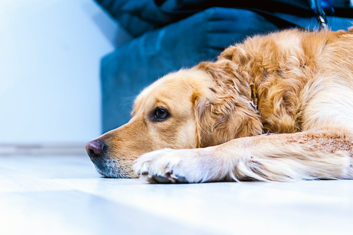 Adult Golden Retriever Lying on the Ground