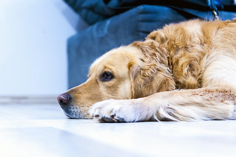 golden labrador laying down
