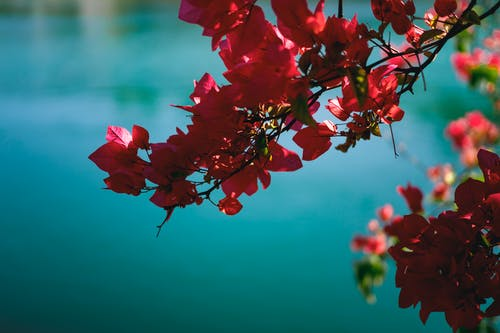 Základová fotografie zdarma na téma krásná květina, modrá voda, růžové květiny