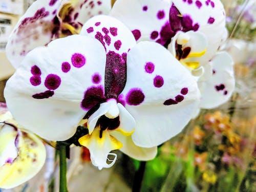 Immagine gratuita di orchidea bianca, orchidee, orchidee bianche, orchidee viola