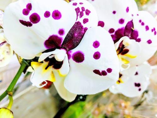 Immagine gratuita di orchidea, orchidea bianca, orchidea viola, orchidee