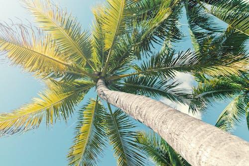 Základová fotografie zdarma na téma léto, obloha, palma, pohled nahoru
