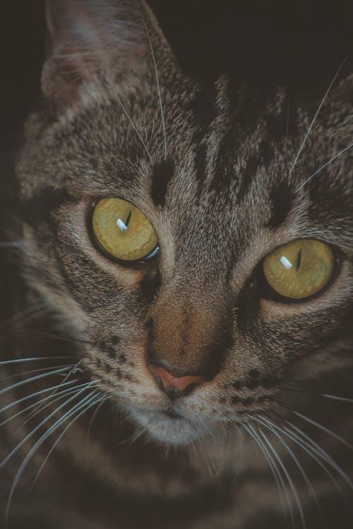 Close Up Foto Di Gray Tabby Cat