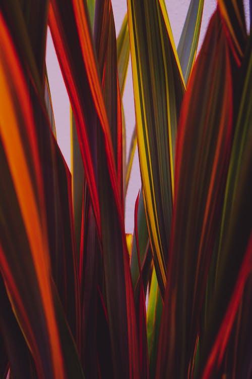 Free stock photo of decorative plant, evergreen, green, orange