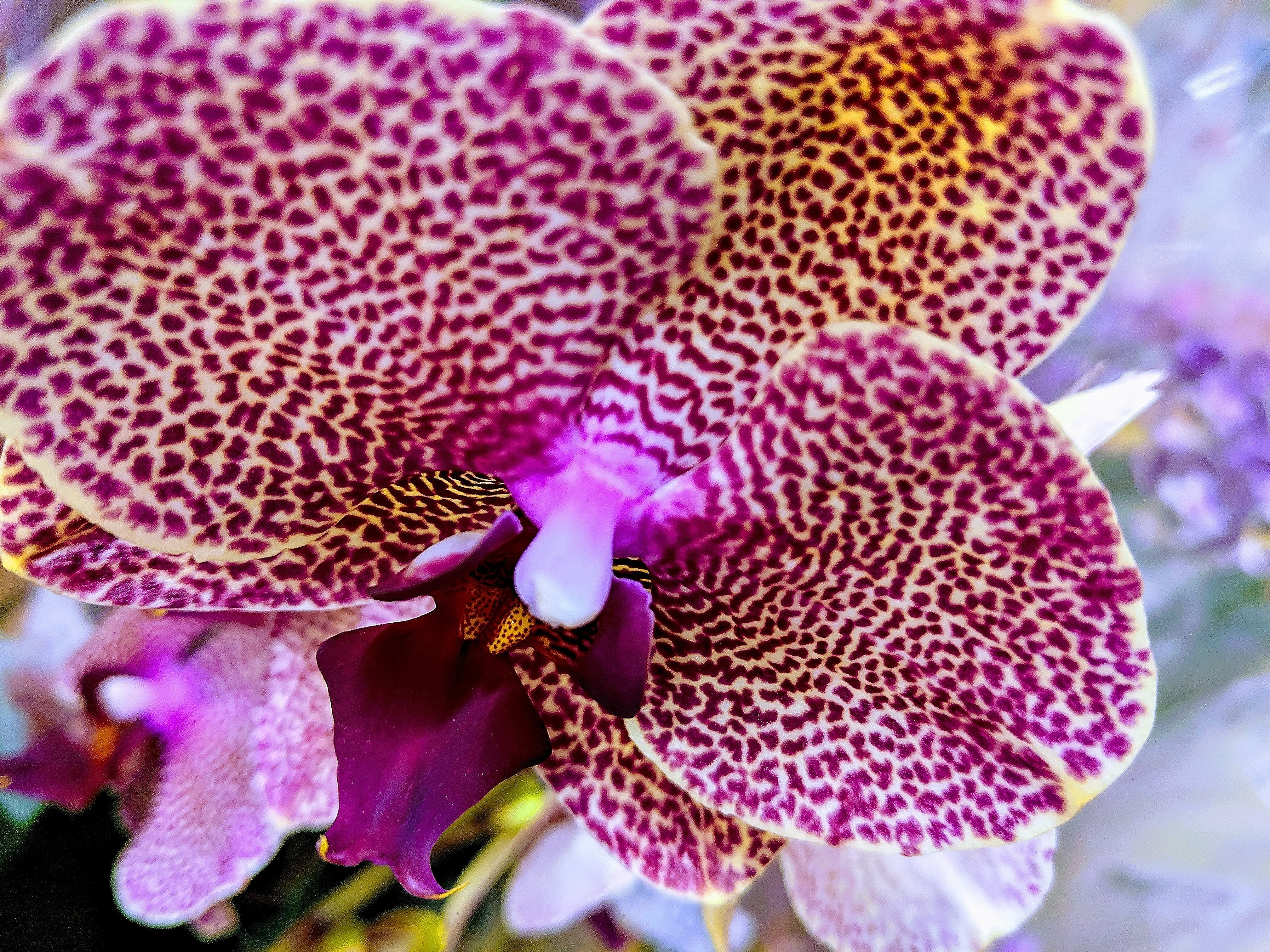 Free stock photo of orchid, orchids, purple orchid, purple orchids