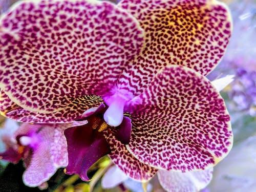 Immagine gratuita di orchidea, orchidea viola, orchidee, orchidee viola