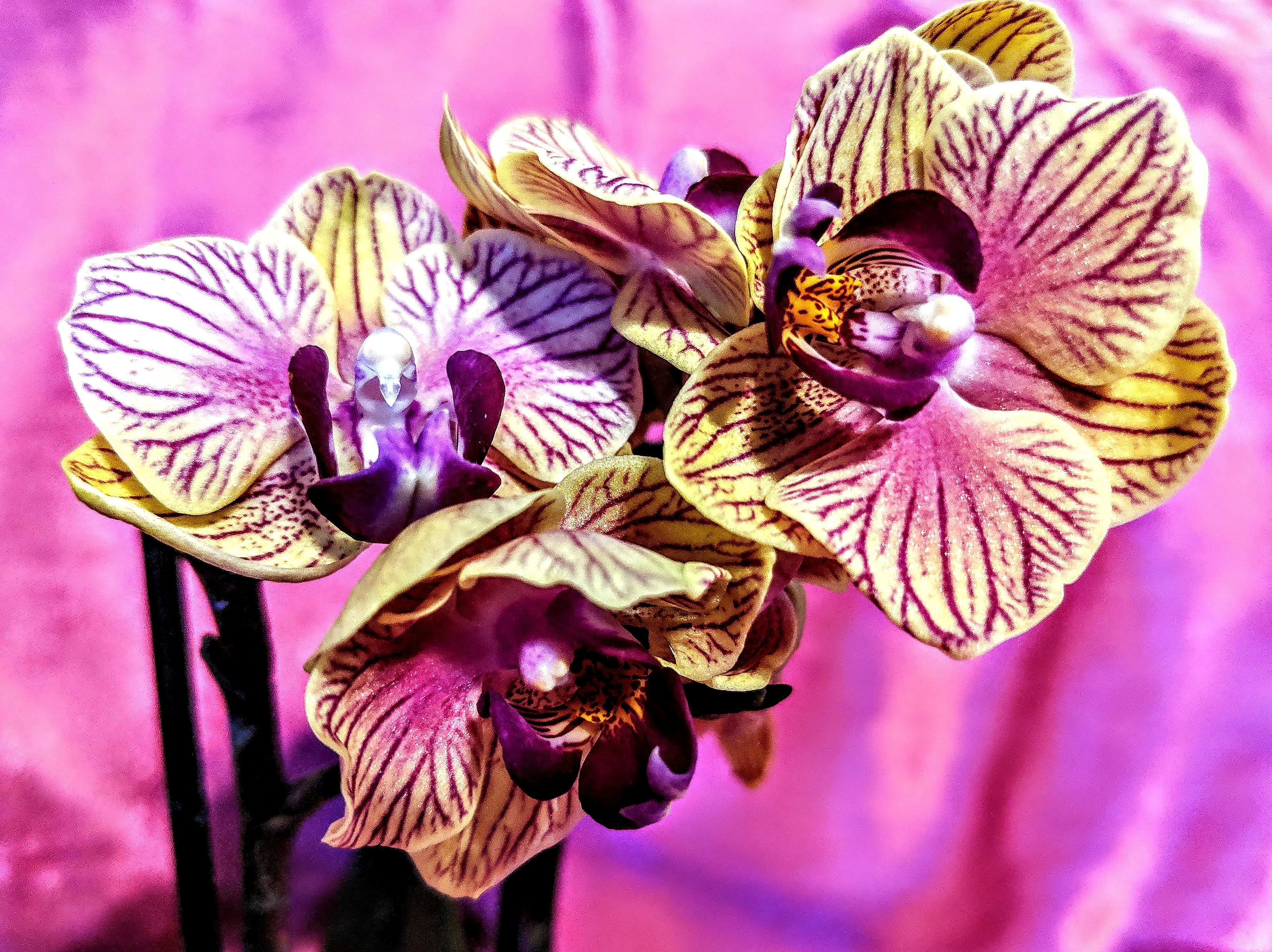 Free stock photo of orchid, orchids, yellow orchid, yellow orchids