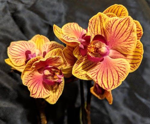 Immagine gratuita di orchidea, orchidea gialla, orchidee, orchidee gialle