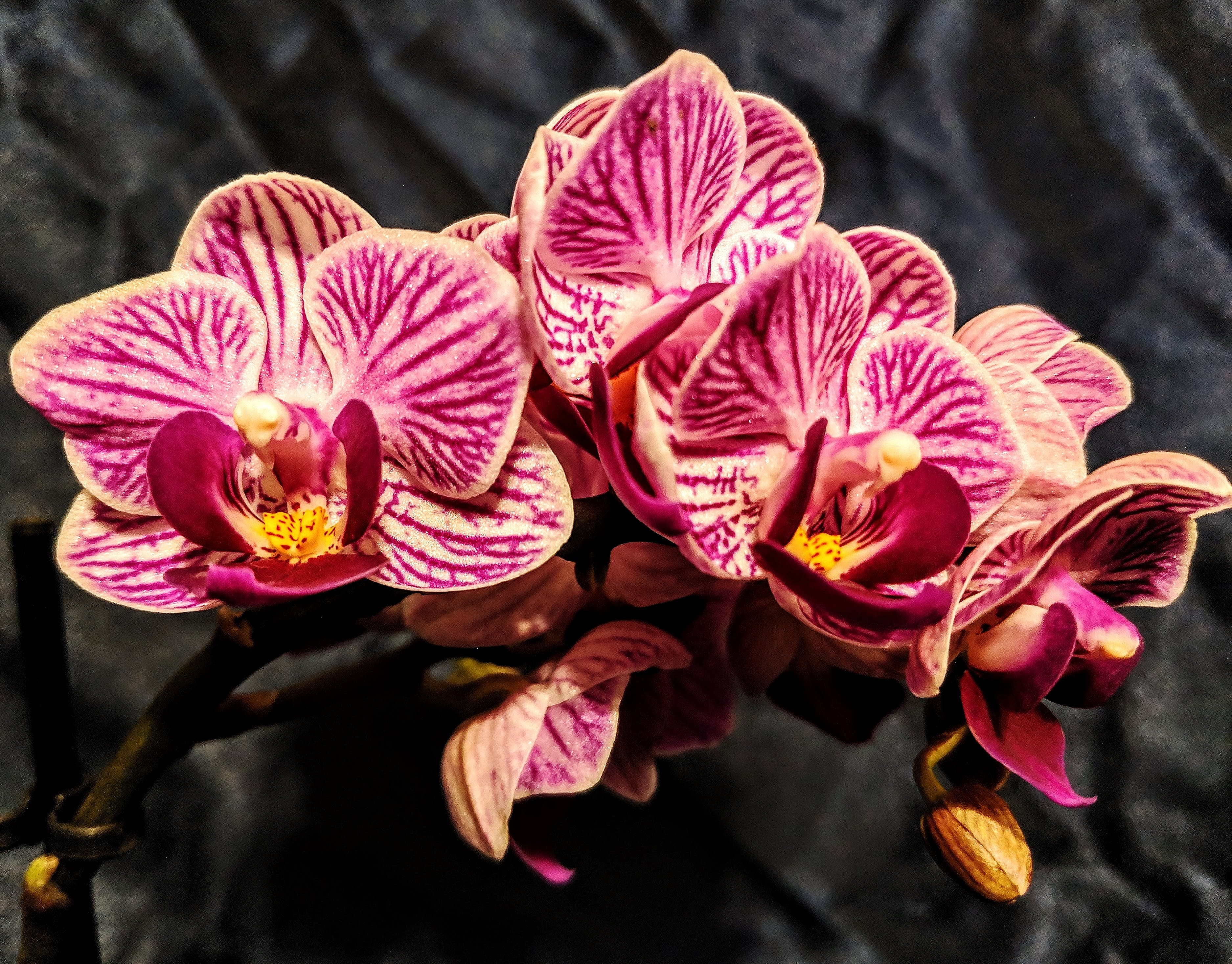 Free stock photo of orchid, orchids, pink orchid, pink orchids