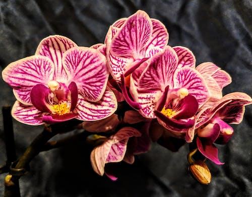 Immagine gratuita di orchidea, orchidea rosa, orchidee, orchidee rosa