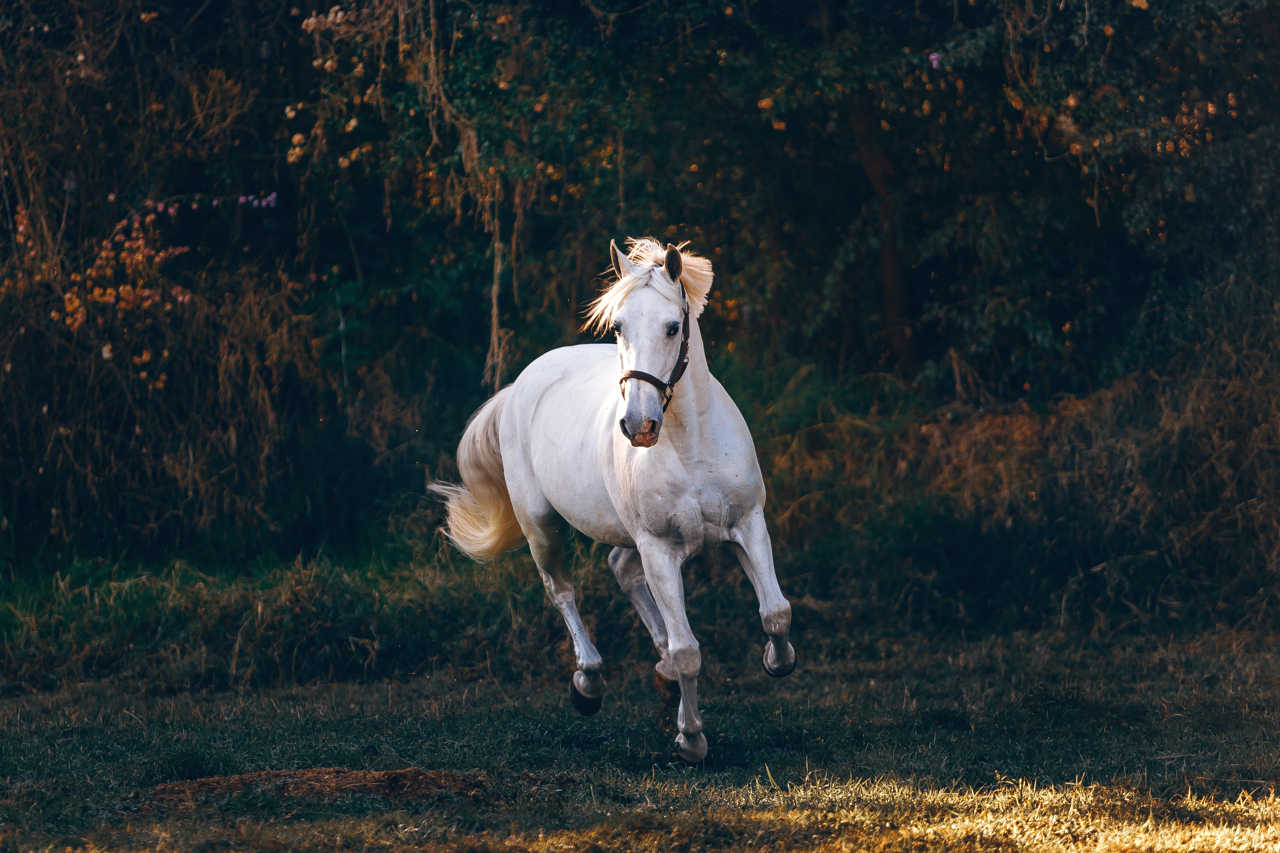 White Horse Running On Green Field Free Stock Photo