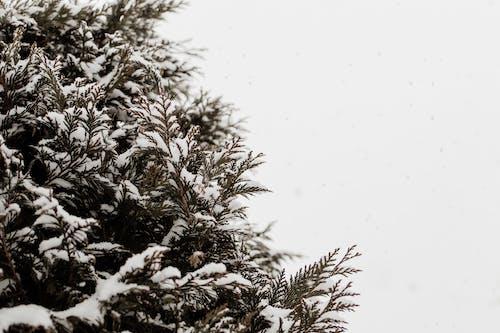 Foto profissional grátis de árvore de Natal, borrão, clima, coberto de neve