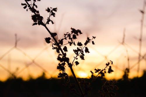 Free stock photo of fence, plant, sunset