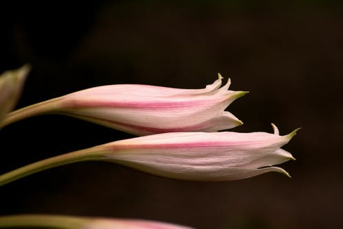 Free stock photo of flower nature lily white pink
