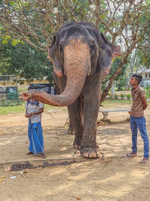 Gratis arkivbilde med Asiatisk, elefant, elefanter, sri lanka