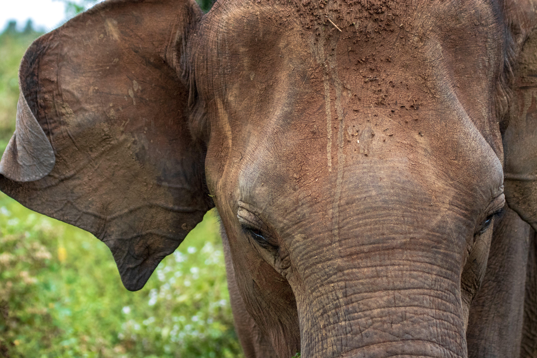 Free stock photo of elephant, sri lanka