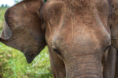 Gratis lagerfoto af elefant, sri lanka