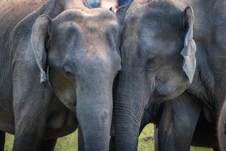 Free stock photo of elephant, elephant love, love, sri lanka