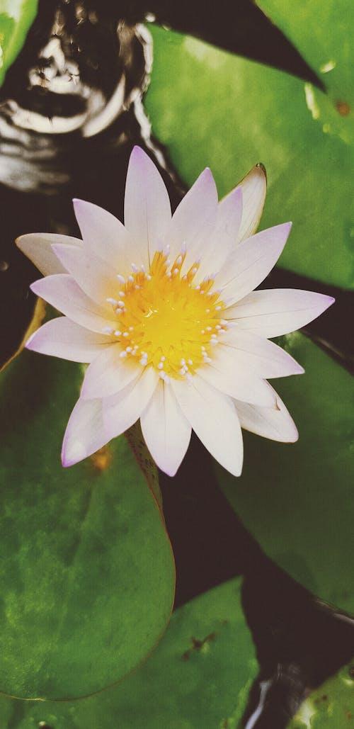 Kostnadsfri bild av sri lanka, vacker blomma