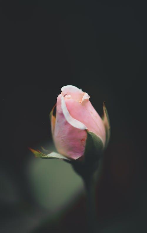 bitki örtüsü, çiçek, çiçeklenmek, gül içeren Ücretsiz stok fotoğraf