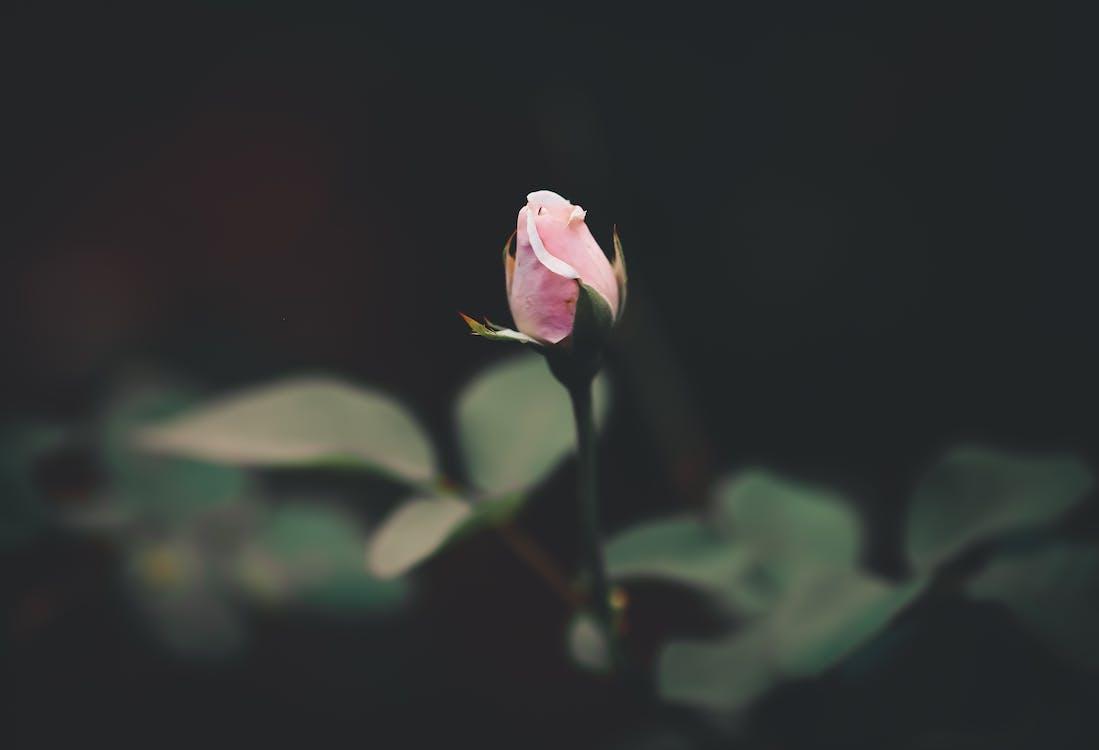 กลีบดอกไม้, การเจริญเติบโต, กำลังบาน