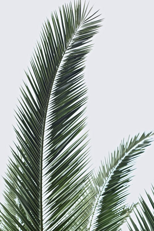 1000 Engaging Palm Leaves Photos Pexels Free Stock Photos Free vectors for your nature, plants, palm trees, evergreen plants, exotic flora and tropical places visuals. engaging palm leaves photos pexels
