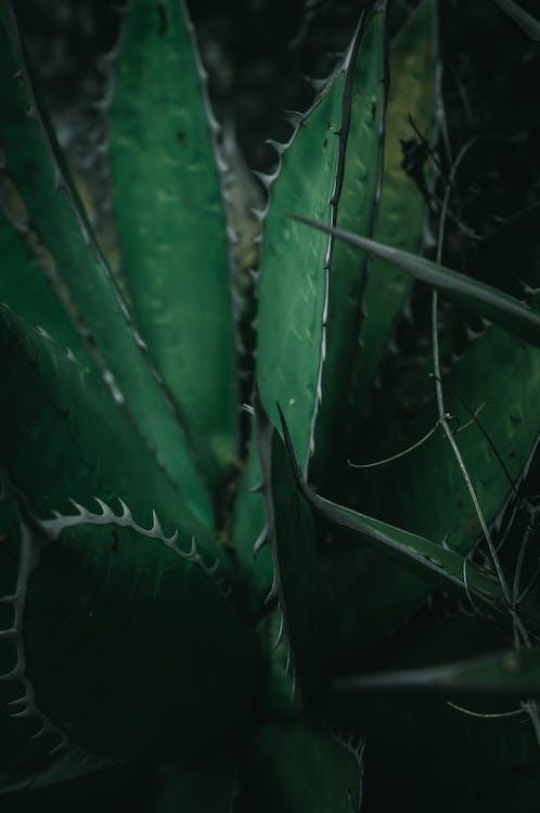 agave, aloe, Aloe vera