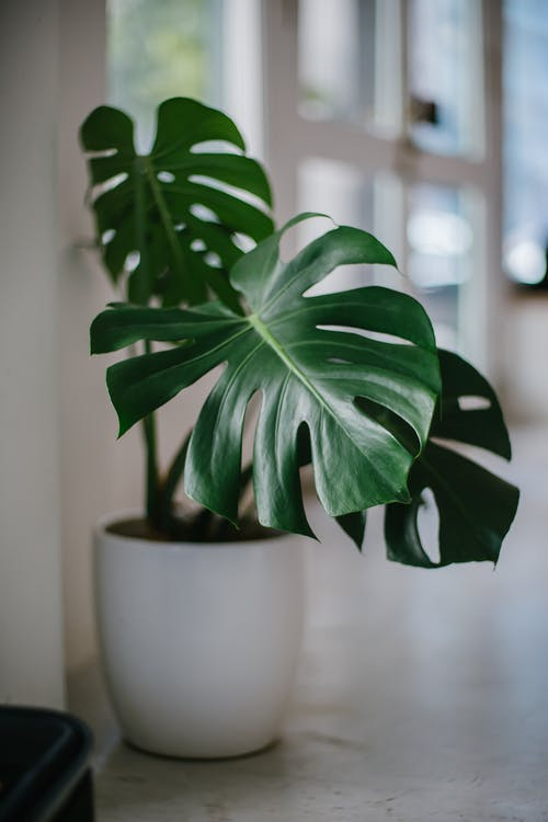 Green Leafed Potted Plant