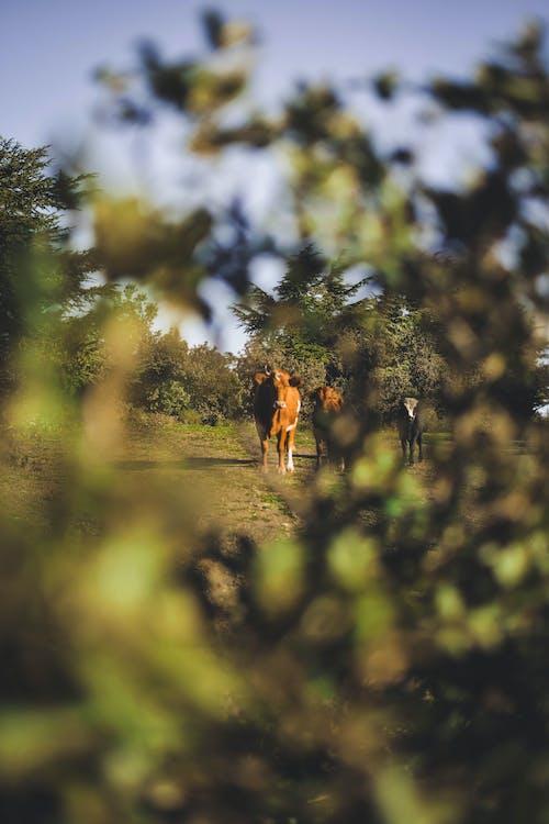 Δωρεάν στοκ φωτογραφιών με αγελάδες, βάθος πεδίου, βοσκή, γήπεδο