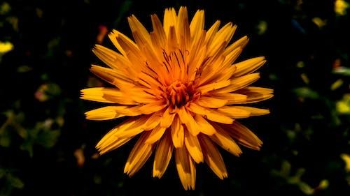 Gratis stockfoto met bloem, goudgeel, natuur, oranje