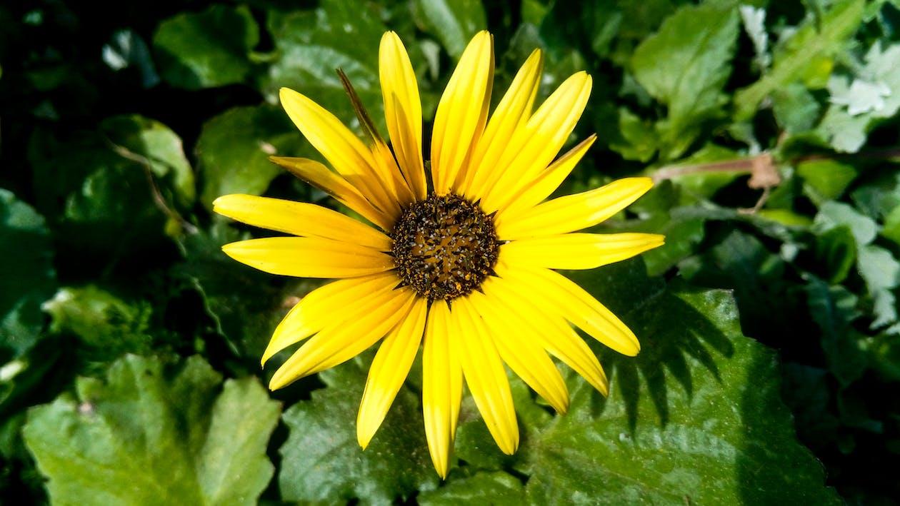 amarillo, flor, flor silvestre