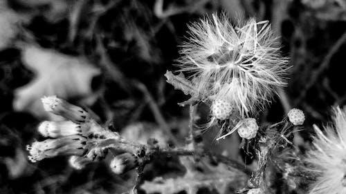 bnw, 天性, 野花, 黑與白 的 免费素材照片